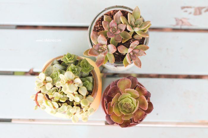 Love these chalky painted mason jar potted succulents. Cute! (and includes a free gift tag printable!) via lollyjane.com