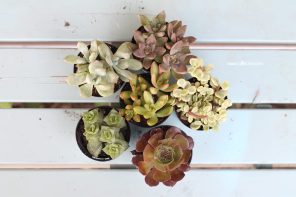 Gorgeous succulents! See how lollyjane.com transformed them!