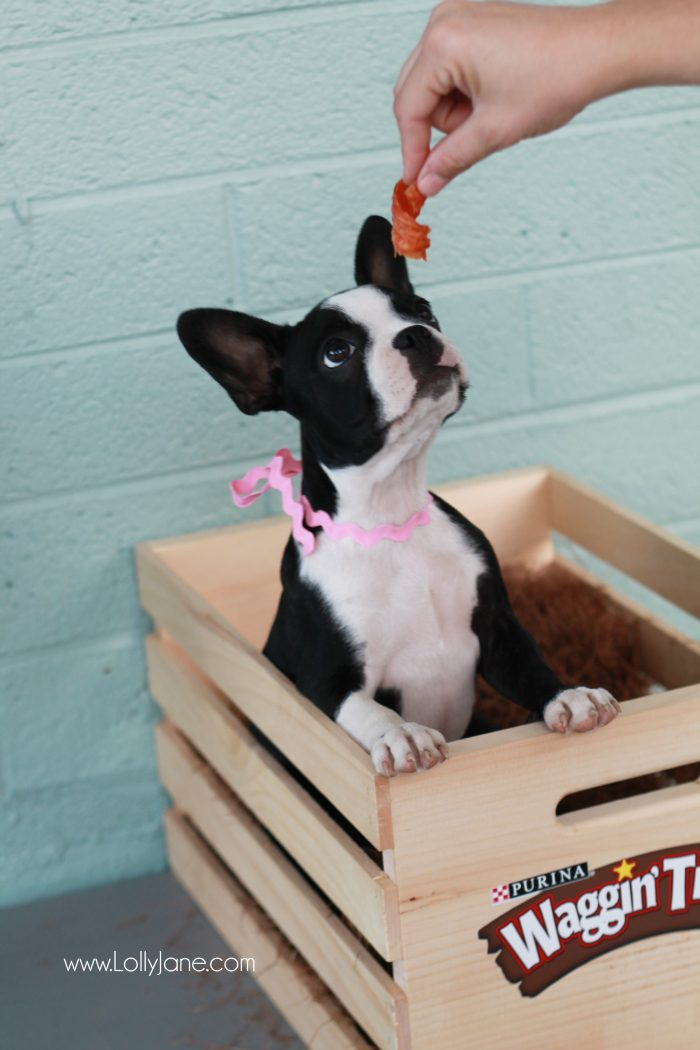 Sweetest boston terrier puppy. Put her snacks in attractive storage: pretty jar filled with your best friend's treats!